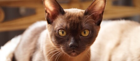Ein Burma Kitten.