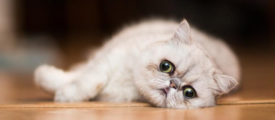 Eine Aufnahme einer Exotic Shorthair Katze.