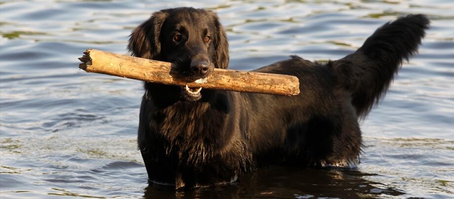 Ein Flat Coated Retriever spielt im Wasser mit einem Stock.