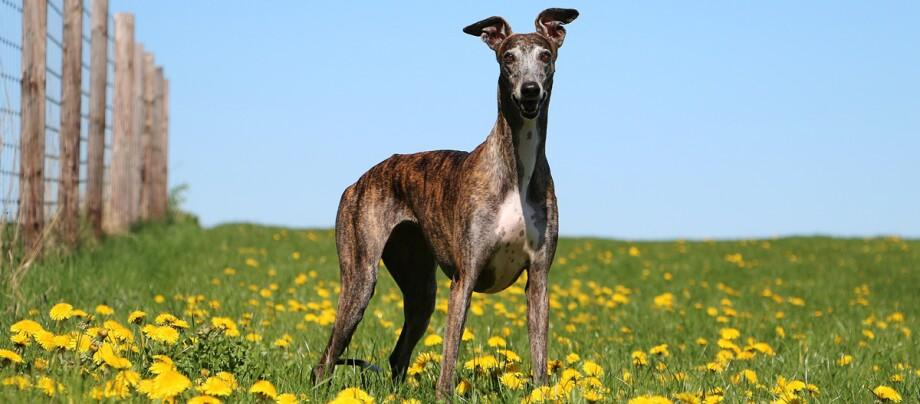 Ein Greyhound steht in mitten einer Blumenwiese.