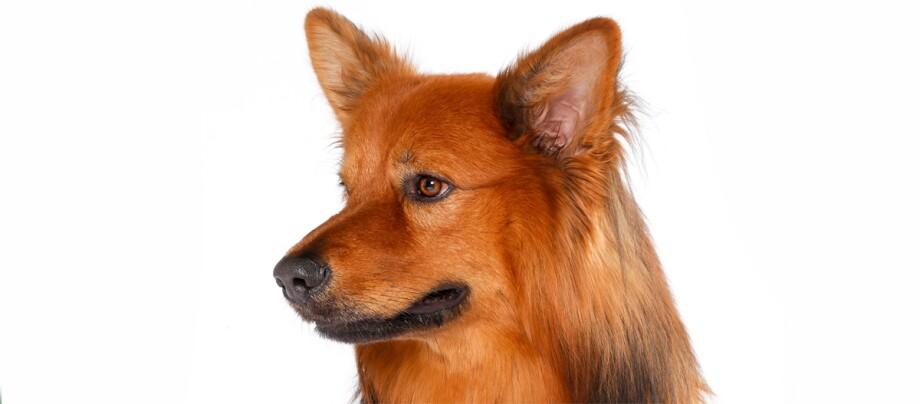 Ein Portrait eines Harzer Fuchs Hundes.