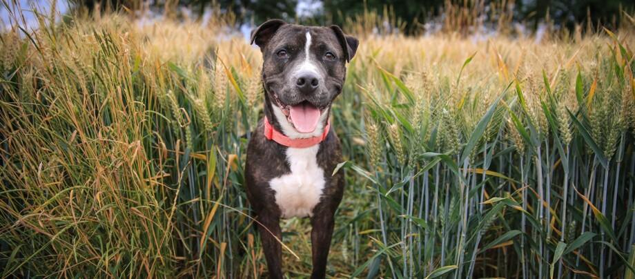 Ein Staffordshire Bullterrier steht in einem Weizenfeld.