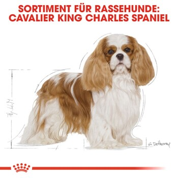 Cavalier King Charles Adult 7,5kg