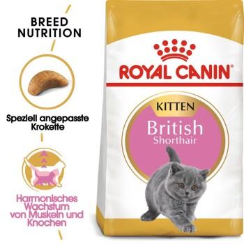 British Shorthair Kitten 2kg