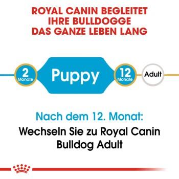 Bulldog Puppy 12kg
