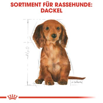 Dachshund Puppy 1,5kg