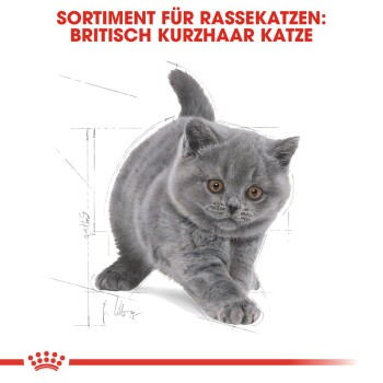 British Shorthair Kitten 2kg